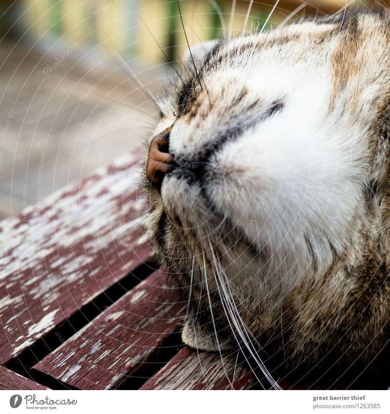 Flauschige Entspannung Tier Haustier Katze Fell 1 Erholung liegen schlafen braun gelb weiß friedlich Gelassenheit Trägheit bequem Holz Balkon mehrfarbig