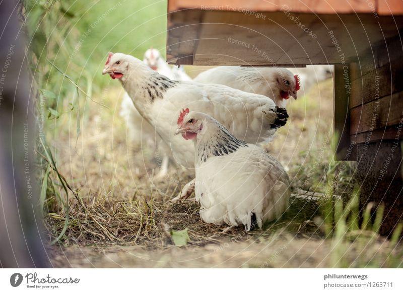 Hahn im Korb? Natur Tier Gras Garten Wiese Haustier Nutztier Vogel Tiergesicht Haushuhn 3 Tiergruppe Tierfamilie beobachten füttern hören natürlich Neugier weiß