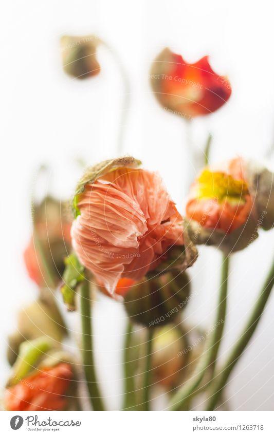 Blumenbunt Mohn Mohnblume zerbrechlich zart Blattgrün Natur Pflanze Frühling entfalten Wachstum verpackt Schlafmohn Klatschmohn Mohnblüte Umwelt Blütenblätter