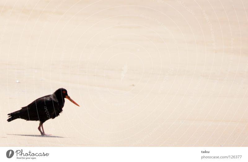 OYSTERCATCHER I Strand schwarz Einsamkeit Freiheit Sand Vogel fliegen Feder Tier Nest