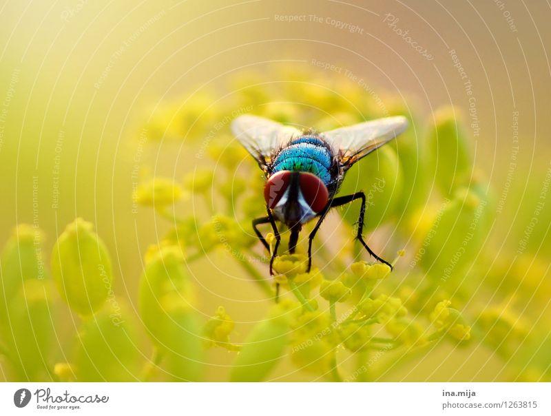 Goldfliege Natur blau Pflanze grün Sommer Blume Tier Umwelt gelb Leben Frühling natürlich klein Garten fliegen Park