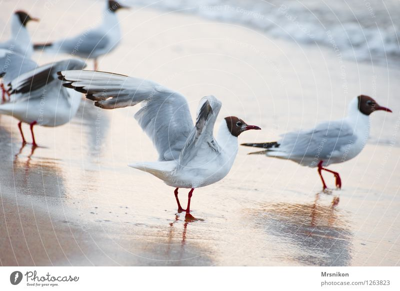 möwe Ferien & Urlaub & Reisen Sommer Sommerurlaub Sonne Strand Meer Insel Wellen Natur Sand Wasser Schönes Wetter Küste Ostsee Vogel Flügel 1 Tier Tiergruppe