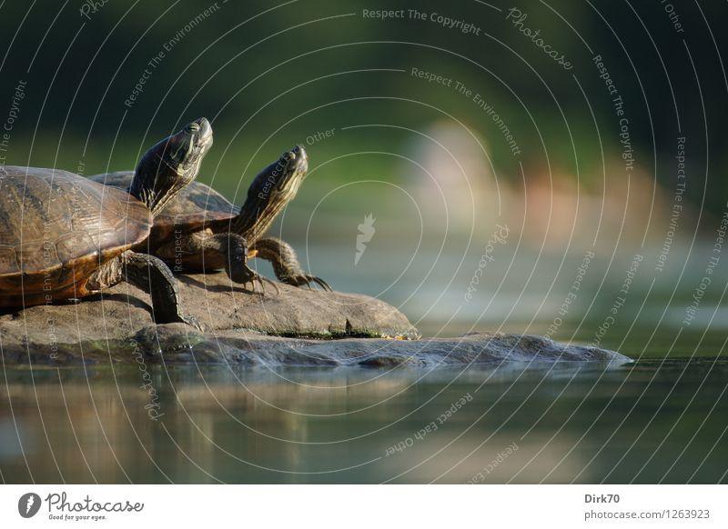 Sonnenanbeter im Central Park Ferien & Urlaub & Reisen Stadt Wasser Erholung ruhig Tier Umwelt klein Felsen liegen Park Zufriedenheit Wildtier Tierpaar fantastisch Klima