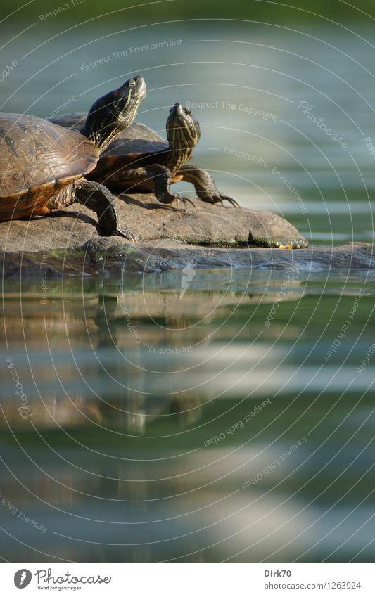 Plausch auf der Insel Umwelt Tier Wasser Sommer Schönes Wetter Park Felsen Küste Seeufer Teich New York City Manhattan USA Stadtzentrum Wildtier Reptil