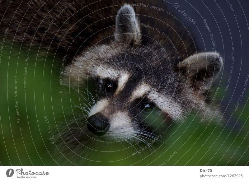 Aus der Deckung Umwelt Sträucher Blatt Grünpflanze Park Central Park New York City Manhattan Augenbinde Tier Wildtier Tiergesicht Waschbär 1 beobachten hören