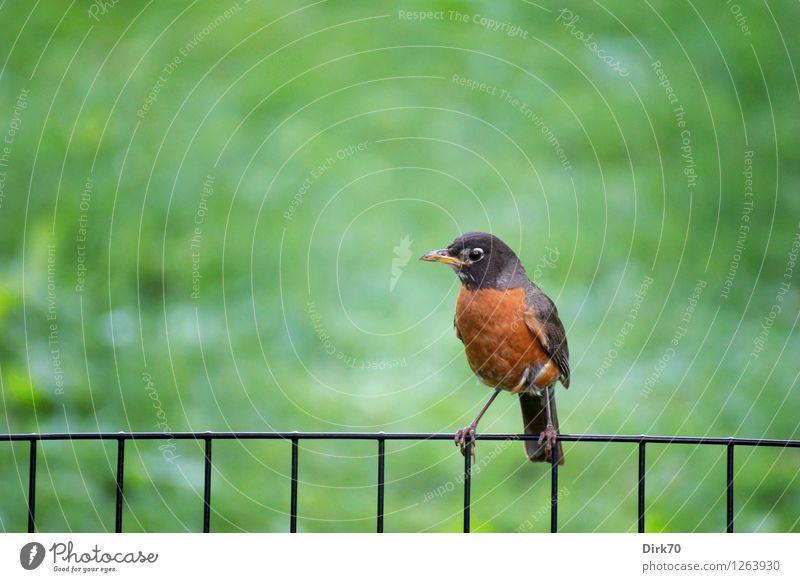 Wanderdrossel im Central Park Umwelt Natur Schönes Wetter Gras Garten Wiese New York City Manhattan Tier Wildtier Vogel Drossel Singvögel 1 Zaun Drahtzaun