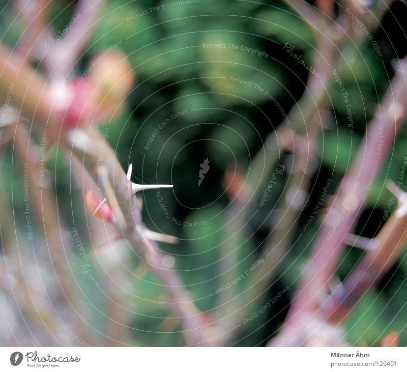 Dornröschen. rot Pflanze Blume Blatt Wiese Wege & Pfade Blüte Garten rosa Rose Rasen Blühend Stengel Märchen Stachel stechen