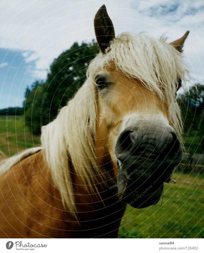 neugierig Pferd Haflinger Mähne Nüstern Gras Fressen Sommer Säugetier Weide lachen Wind