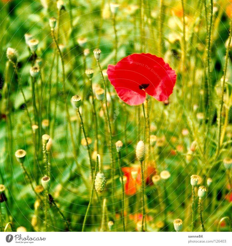 Mohn Blume grün rot Sommer Ferien & Urlaub & Reisen Wiese Wärme Schweiz Physik Kanton Bern