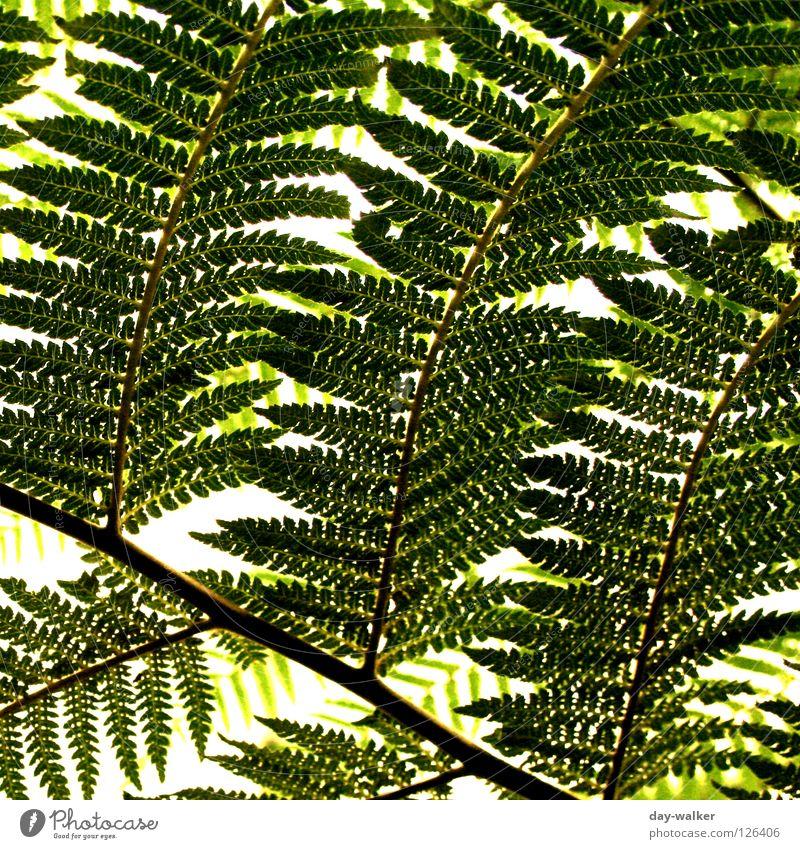 Grüne Strukturen Pflanze dunkel hell Ast Botanik Zweig Zacken Echte Farne verzweigt Sporen