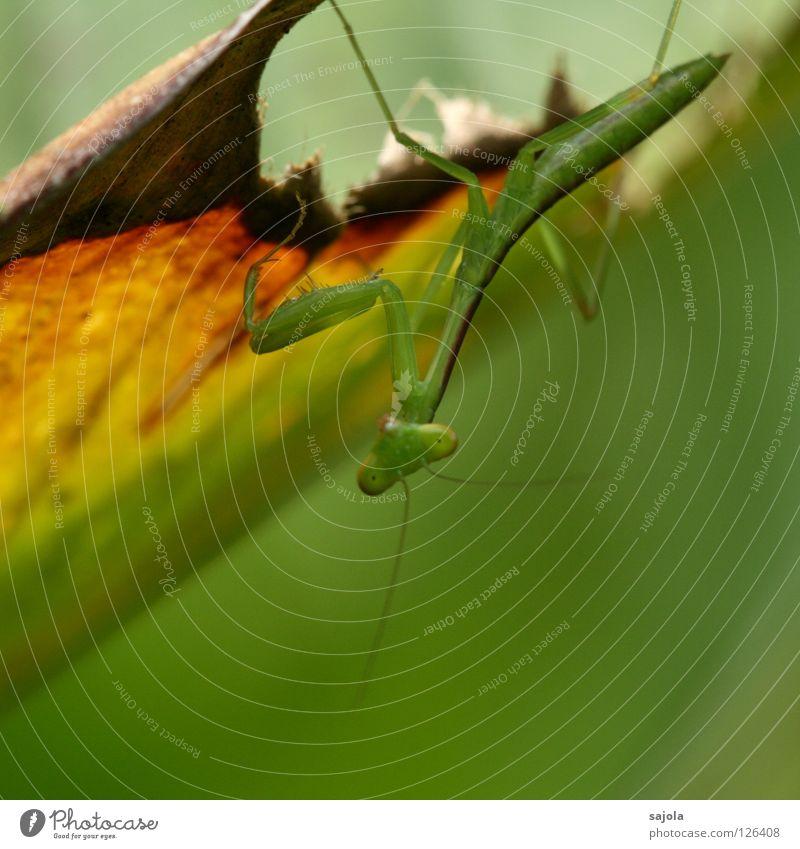 gottesanbeterin Tier Blatt Wildtier Insekt Gottesanbeterin Heuschrecke 1 braun grün Farbe Fühler Hinterbein Tarnung Fleischfresser Dreieck Anpassung Tiergesicht