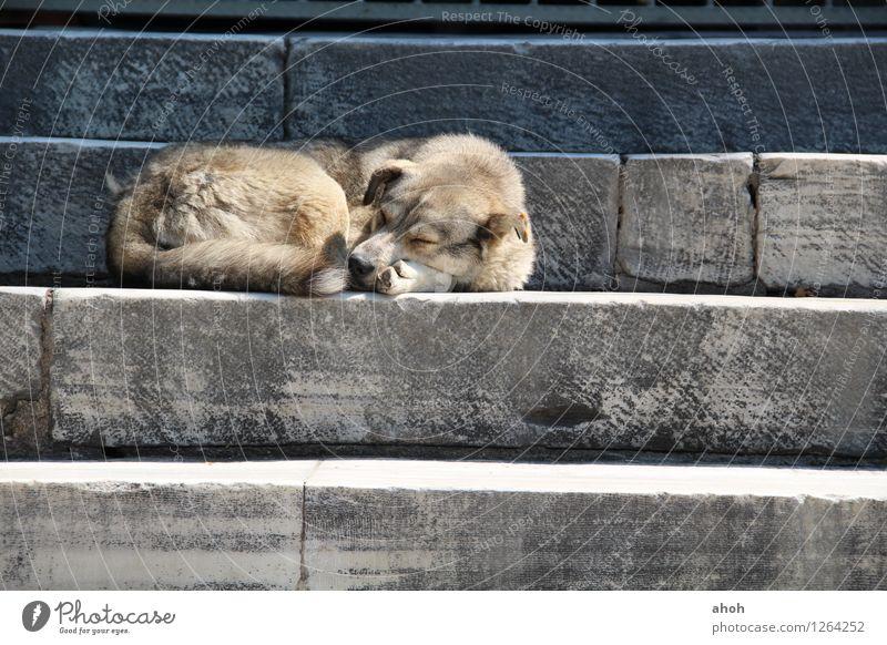 Powernap Istanbul Stadt Moschee Treppe Haustier Wildtier Hund 1 Tier Stein Erholung schlafen kuschlig natürlich positiv blau braun grau Tierliebe friedlich Güte