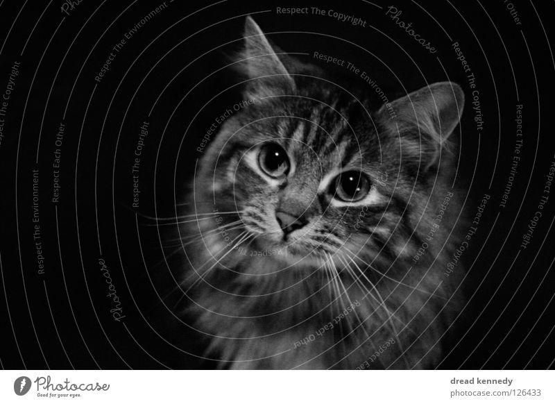 Die Katze und das Butterbrot Schwarzweißfoto Innenaufnahme Textfreiraum links Textfreiraum rechts Textfreiraum unten Vogelperspektive Tierporträt