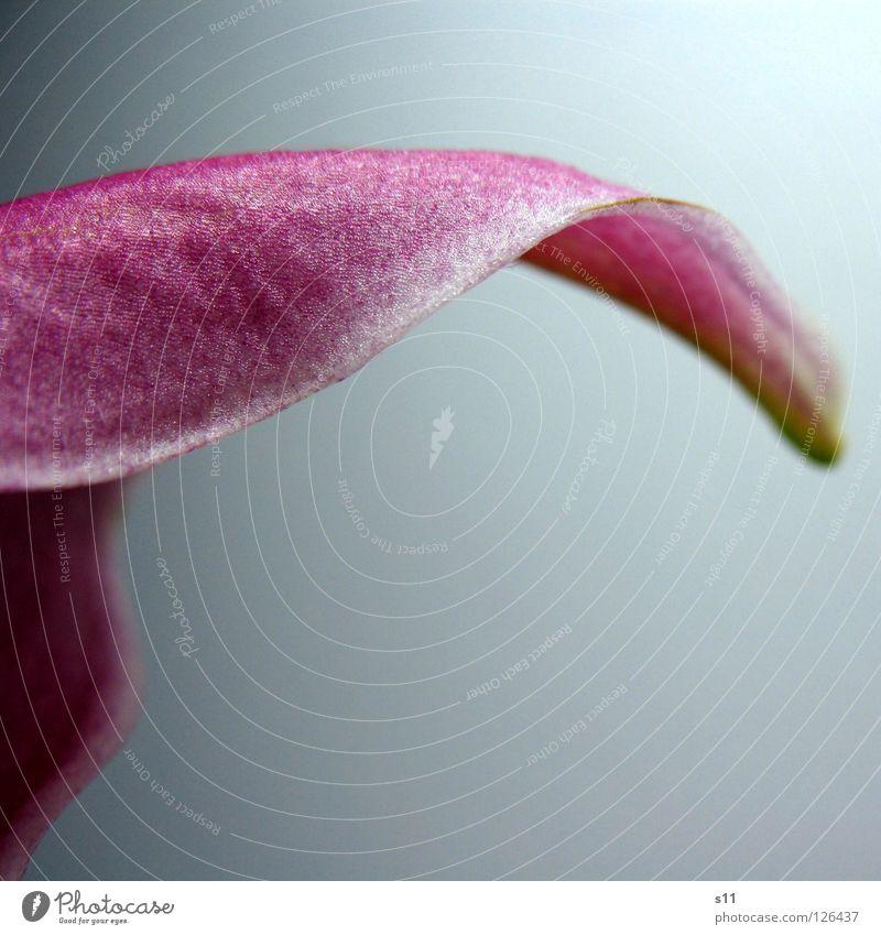 LillyDetail elegant schön Natur Pflanze Blume Blüte modern grün rosa weiß Vergänglichkeit Lilien Blütenblatt geschwungen gekrümmt wellig Schwung Deteil