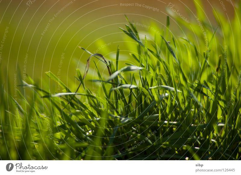 Wiesengrün grün Sommer Leben Wiese Gras Frühling frisch Weide Schönes Wetter Futter