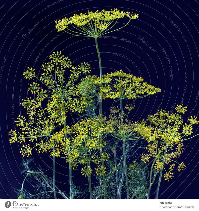 Dill; Anethum graveolens; Dilldolde; Blueten schwarz gelb Stil frei Blühend Kräuter & Gewürze Stillleben Teepflanze Heilpflanzen Objektfotografie Küchenkräuter