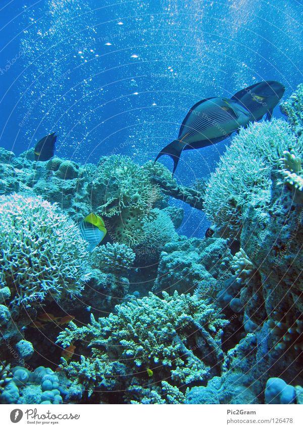 Korallenriff Meer Unterwasseraufnahme Fisch tauchen Luftblase Korallen Rotes Meer Doktorfisch