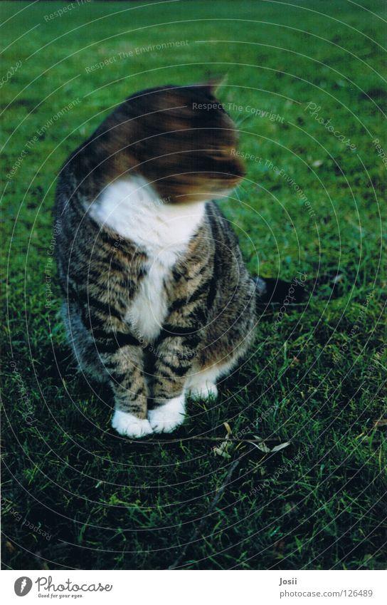 Diva, Diva! grün schön Katze Gras Bewegung Frühling Vogel Angst sitzen süß geheimnisvoll Freundlichkeit Jagd Dynamik edel Säugetier