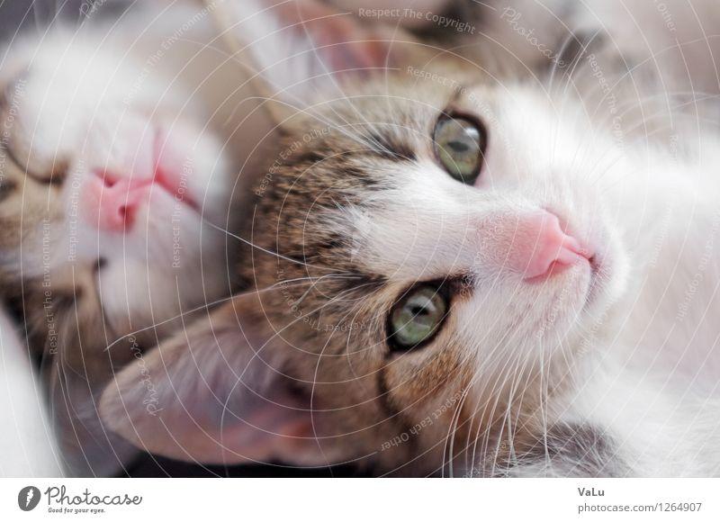 Huge ears & pink noses Tier Haustier Katze Tiergesicht Fell 2 Tierjunges schlafen Farbfoto Innenaufnahme Makroaufnahme Tag Blick in die Kamera