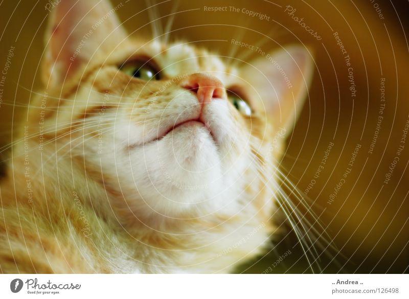 Red Tiger 7 Fell Katze rot Schnurrhaar Säugetier tigi Hauskatze mietzi cat kitten schurrhaare getigert Nase Farbfoto