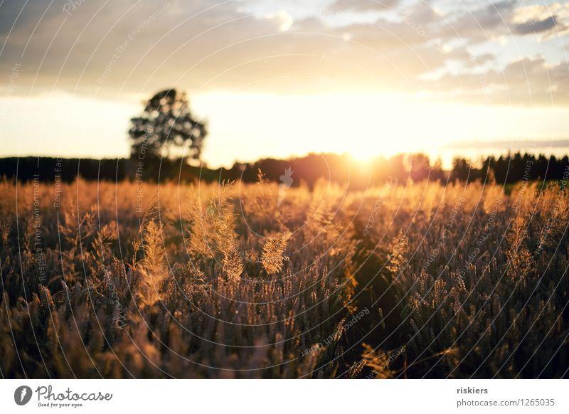 sun goes down Umwelt Natur Landschaft Pflanze Sonne Sonnenaufgang Sonnenuntergang Sonnenlicht Sommer Schönes Wetter Wärme Feld leuchten frei Fröhlichkeit