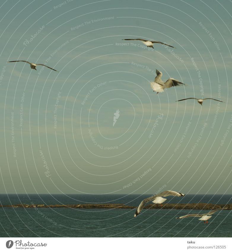 SEAGULLS Neuseeland Möwe Vogel Riff Klippe Meer Meerwasser Schweben gleiten weiß grau p.b. Lachmöwe jasons reef Wasser fliegen Flügel Freiheit freedom rote füße