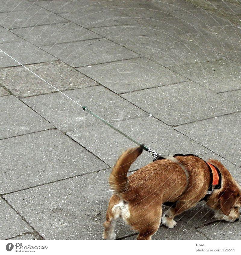 Adrenalinschub Hund braun Schwanz Beton Bürgersteig Verkehrswege Säugetier Kommunizieren Seil Revier Geruch orten sondieren Lebenselexier ziehen Beine