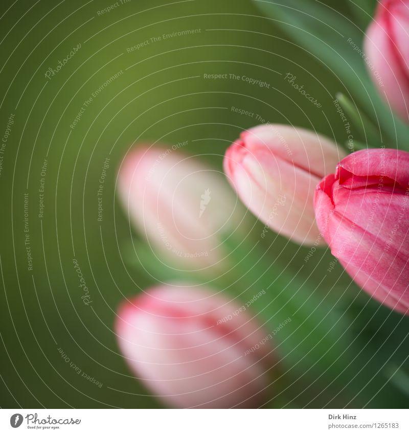 Alles Gute zum...? Pflanze grün schön Farbe Blüte Gefühle Frühling feminin Stil Glück Garten Stimmung rosa Park Design frisch