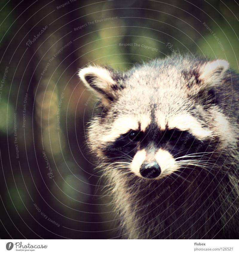Die Raccoons Tier Park Fell Zoo niedlich obskur gefangen Säugetier Bär Gehege Käfig buschig zerzaust Landraubtier Waschbär