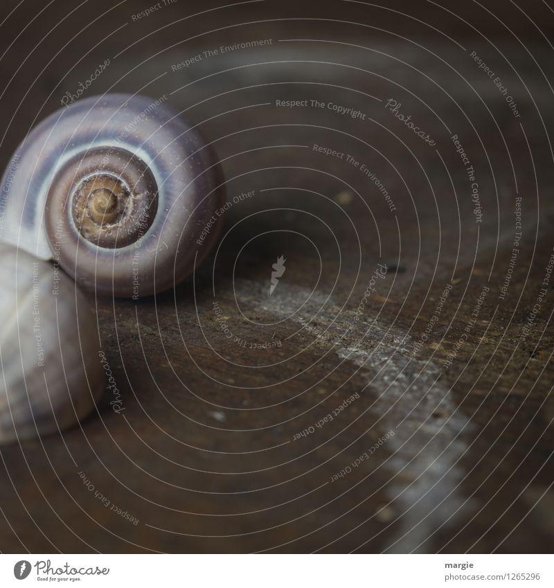 Schnecken - Spuren Natur ruhig Tier Umwelt Holz braun Wildtier Gelassenheit Haustier Spirale krabbeln Vorsicht geduldig schlechtes Wetter Schneckenhaus