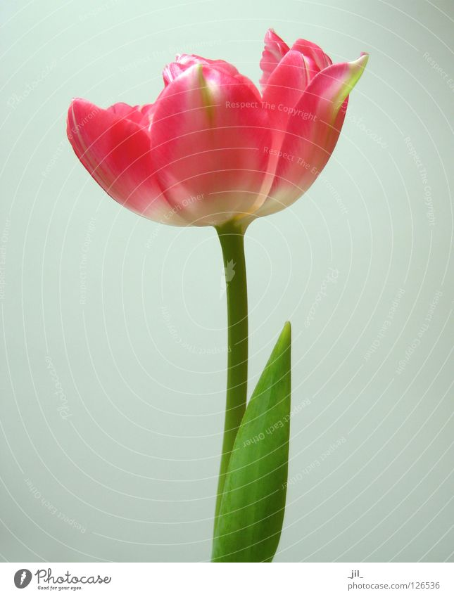 blush schön weiß Blume grün Pflanze rot Leben Blüte grau rosa Kraft zart Tulpe