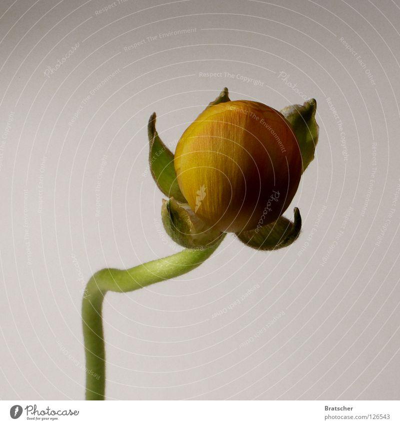 Blume des Bösen Natur Blume gelb Frühling Blüte geschlossen Neugier Ball böse obskur Botanik Schwäche Schüchternheit Explosion platzen Spitzel