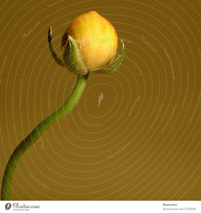 path of the righteous Pflanze Blume ruhig dunkel gelb Traurigkeit Blüte Hintergrundbild Tod Trauer Konzentration Reichtum Märchen Schlafzimmer Schüchternheit trösten
