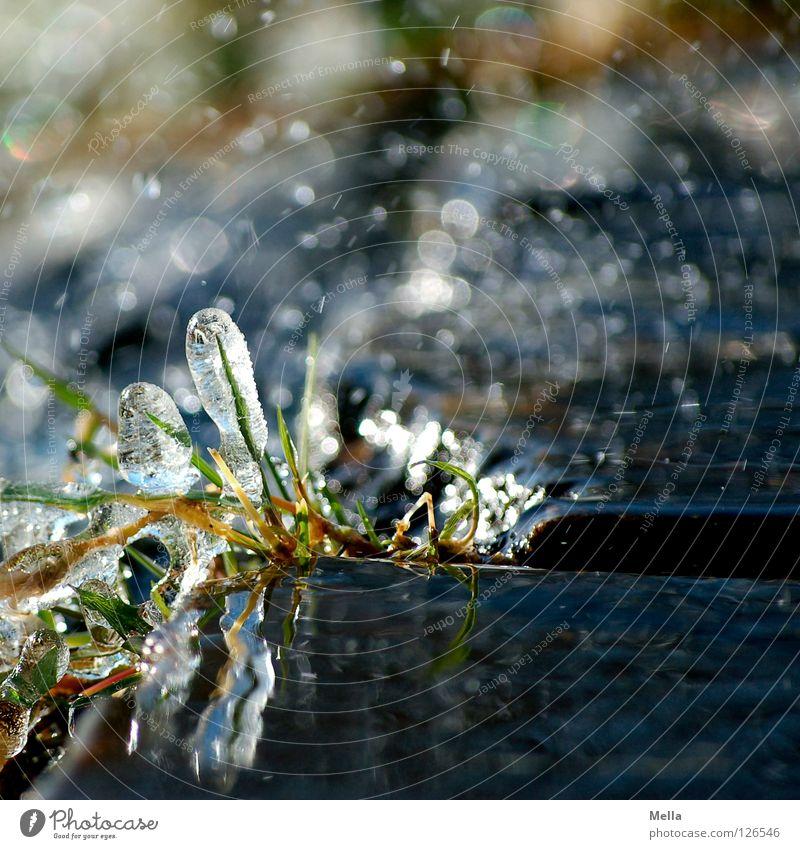 Eins hab ich noch - Frühlingseis VI Natur Wasser grün Pflanze Winter kalt Gras grau Eis glänzend Umwelt nass Wassertropfen frisch Wachstum