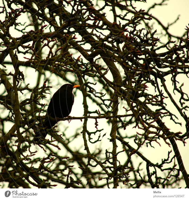 Amselwinter II Umwelt Natur Baum Sträucher Ast Zweige u. Äste Park Tier Vogel Drossel 1 hocken sitzen natürlich trist grau schwarz Farbfoto Gedeckte Farben
