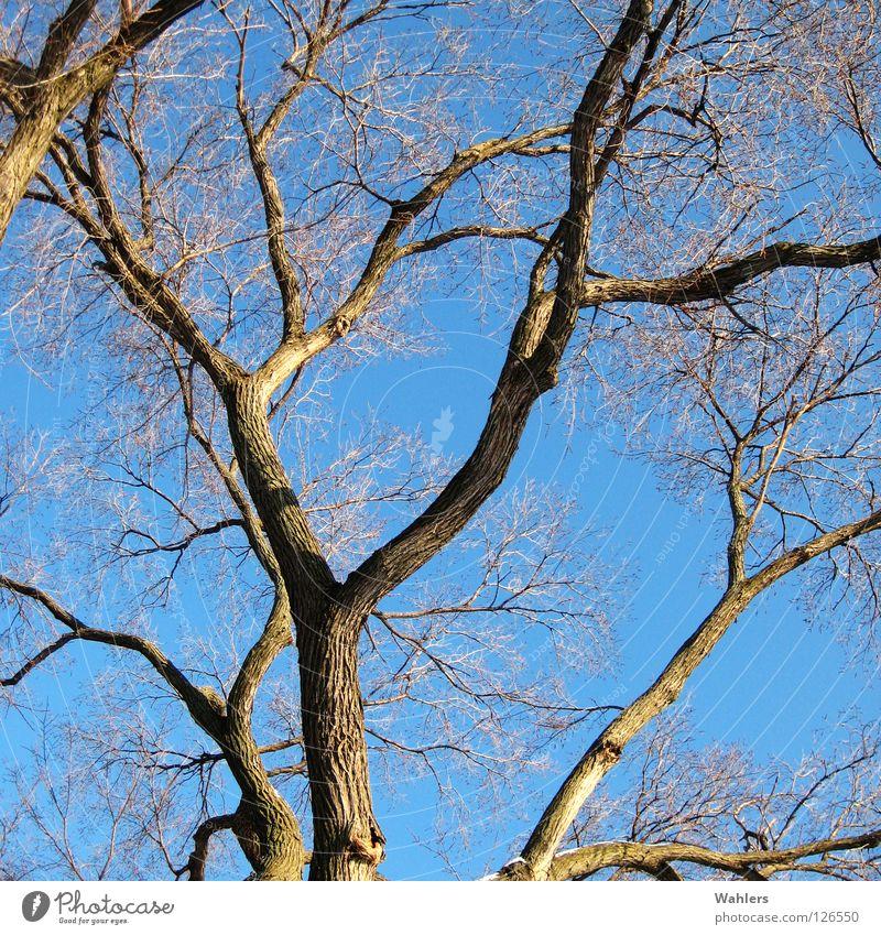 Baumkrone Himmel Baum blau Winter Blatt Holz dünn Ast trocken Baumstamm Baumkrone Gabel Abzweigung