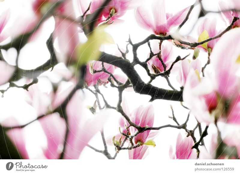 Gegenlichtmagnolie 2 weiß Baum Pflanze rot Blüte Frühling hell rosa Hintergrundbild Ast Vergänglichkeit Blütenknospen Blütenblatt Magnoliengewächse