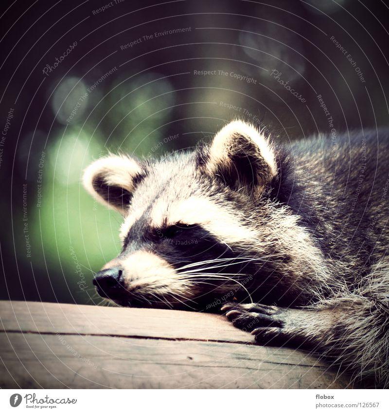 Die Raccoons II Waschbär zerzaust Zoo Tier Fell Gehege gefangen buschig Käfig Landraubtier niedlich schlafen faulenzen Faultiere ruhen Säugetier Langeweile Bär