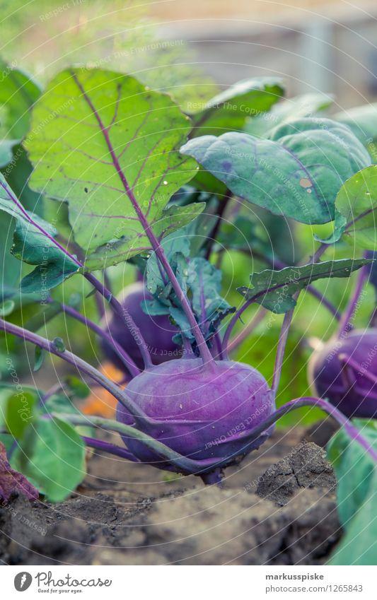 urban gardening roter kohlrabi Lebensmittel Gemüse Rotkohl Ernährung Bioprodukte Vegetarische Ernährung Diät Fasten Gesunde Ernährung Fitness harmonisch