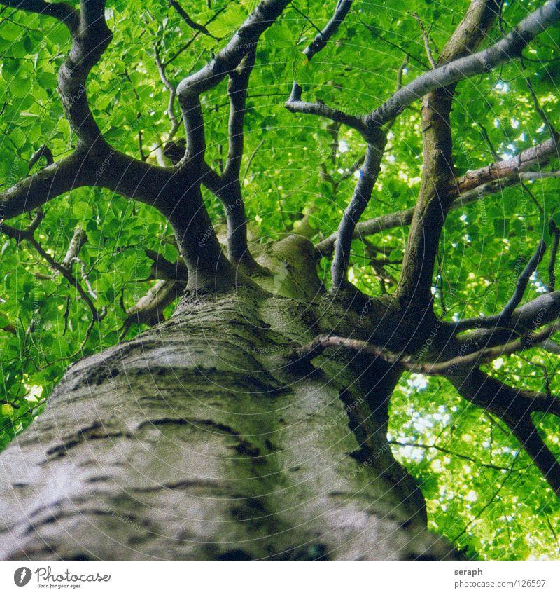 Uralte Buche Baum Buchenwald Wald Buchenblatt Blatt Baumstamm Baumkrone Blätterdach Natur Pflanze Laubbaum grün Baumrinde Wachstum Ast verästelt Blattgrün