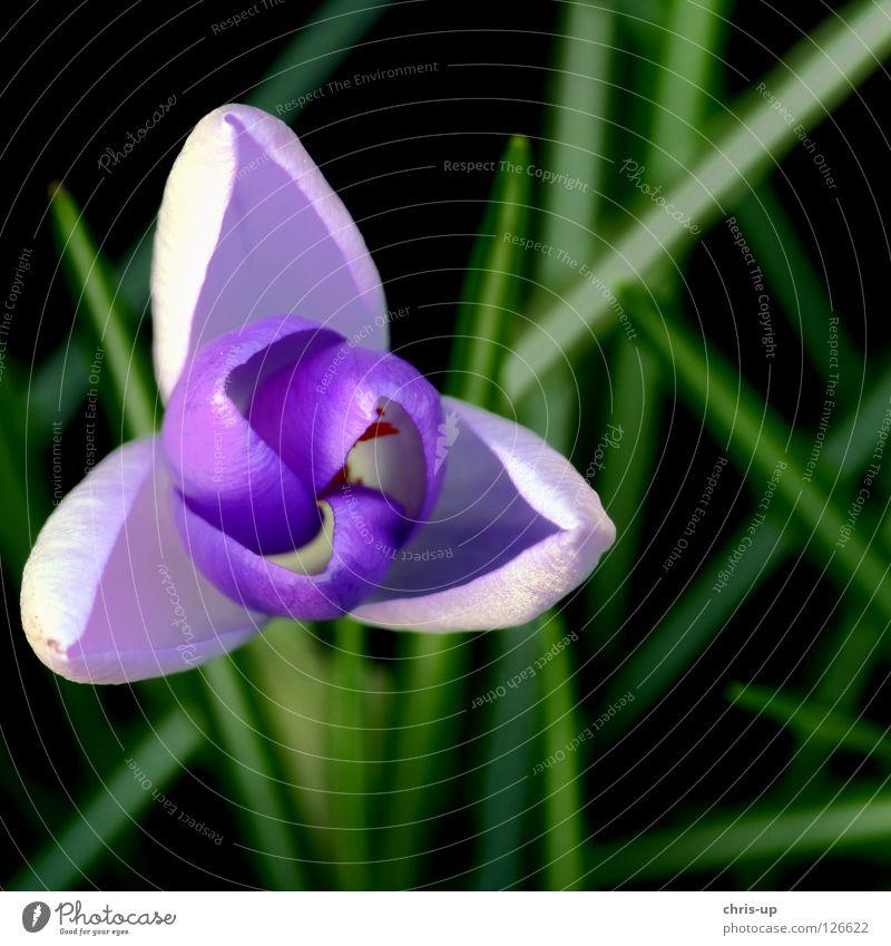 Krokus, Crocus Krokusse Blume Blüte Pollen violett Frühling Sommer Makroaufnahme grün Montbretie Frühlingskrokus Garten Park Krokusblüte Natur Frühlingsbote