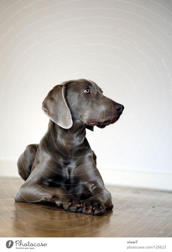 Seitenblick schön Auge Holz Hund glänzend sitzen liegen Nase Wachstum Bodenbelag niedlich Tiergesicht Fell Säugetier Haustier Stolz