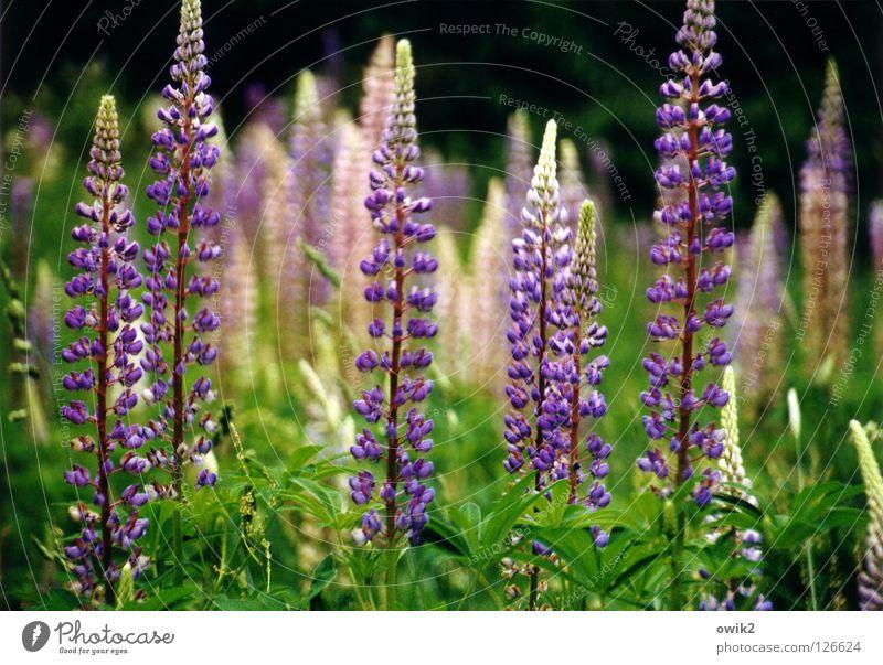 Wilde Lupinen Sommer Umwelt Natur Landschaft Pflanze Klima Schönes Wetter Sträucher Blatt Blüte Wildpflanze Lupinenfeld Wiese Blühend Duft leuchten Wachstum