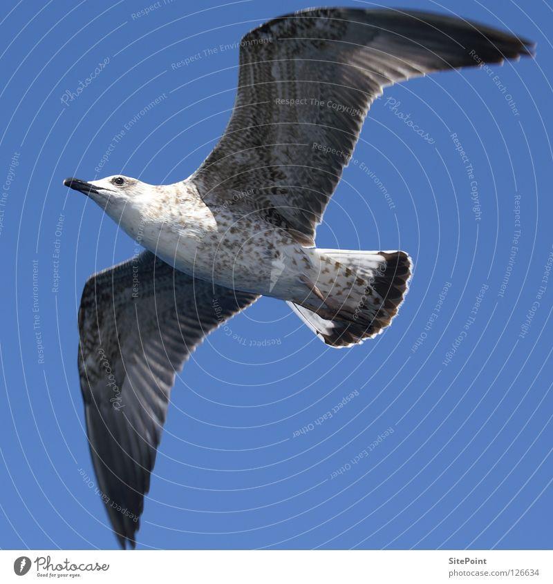 Möwe Himmel blau Vogel fliegen Quadrat Bauch Möwe Tier Möwenvögel