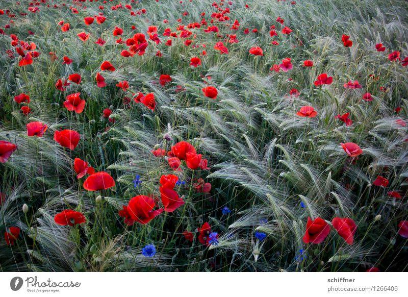 Spreedorado | Rudelmohn Pflanze Sommer Blume Gras Nutzpflanze Feld rot Gerste Gerstenfeld Gerstenähre Getreide Getreidefeld Mohn Mohnblüte Mohnfeld Kornblume