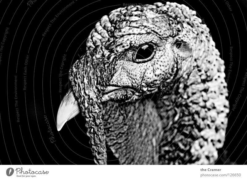 Die Angst vor Thanksgiving 1 Truthahn Pute Vogel Tier Landwirtschaft Ernährung Feiertag Schwarzweißfoto Ackerbau Tierhaltung Freiland Lebensmittel Erntedankfest