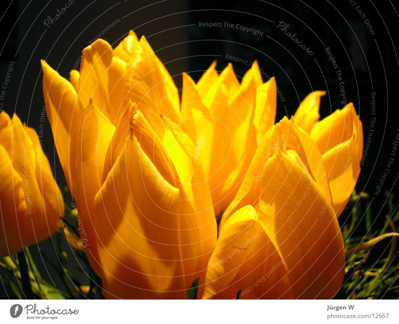 Frühling Natur Blume gelb Blüte Tulpe Vase