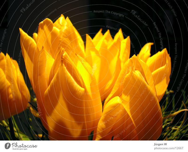 Frühling Tulpe gelb Blume Blüte Vase Licht Natur Schatten flower bloom light shadow