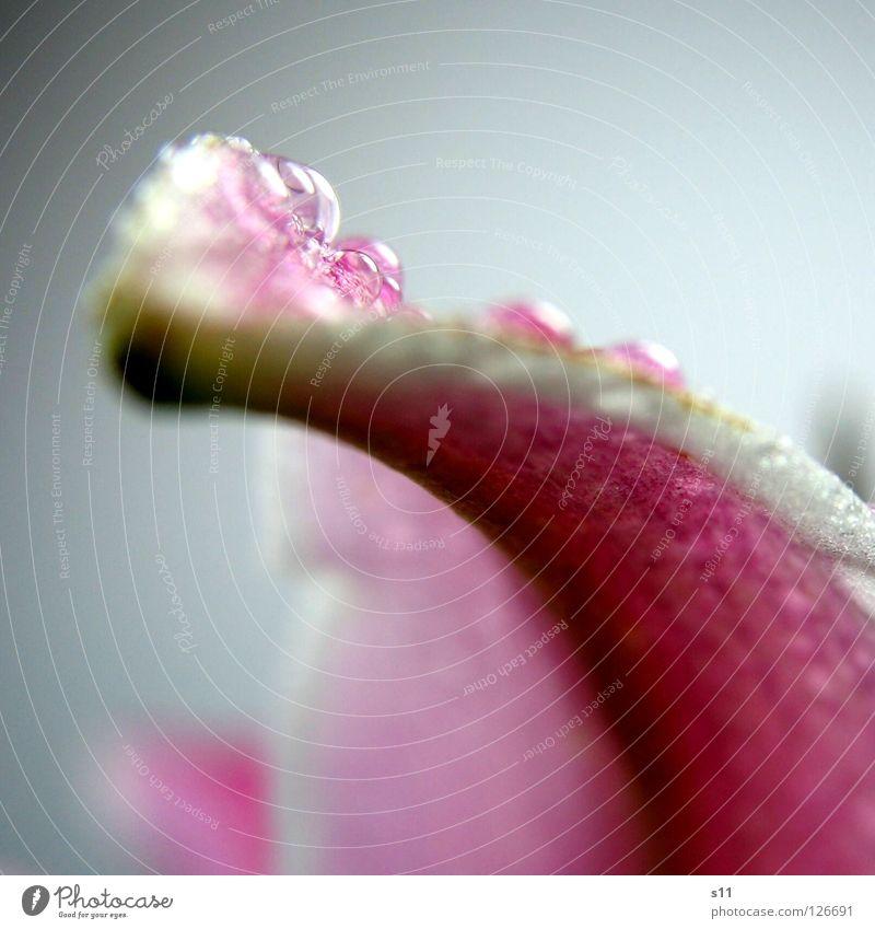 LillyPerl Natur Pflanze schön grün weiß Blume Blüte rosa Regen glänzend elegant modern Wassertropfen nass Vergänglichkeit Blütenblatt