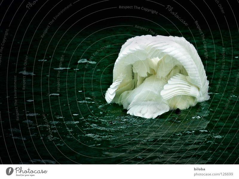 Ich verneige mich vor dir! Wasser weiß Tier schwarz Bewegung See Vogel Kraft fliegen elegant Wassertropfen Feder Flügel weich Fluss